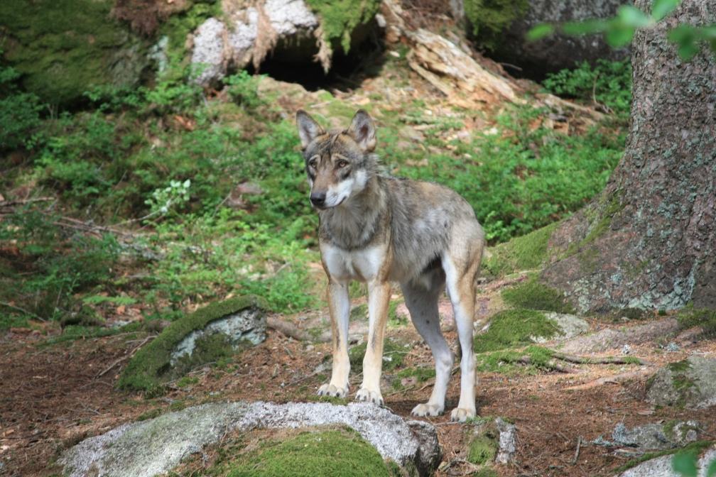 Vlčí obora – při návštěvě Šumavy jsme s vnoučaty navštívili Vlky, CEWE soutěž Českem křížem krážem