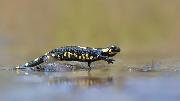 Mlok skvrnitý_Salamandra salamandra