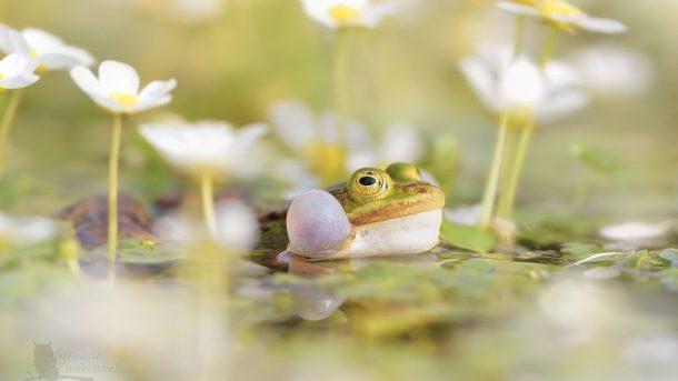 Skokan zelený, foto Jaromír Kadeřábek