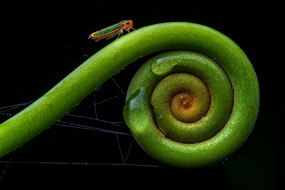 Portrait of a Leafhopper, Cicadelidae, feeding on the sap of a fern.