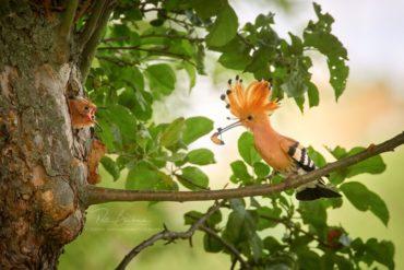 Dudek u hnízda