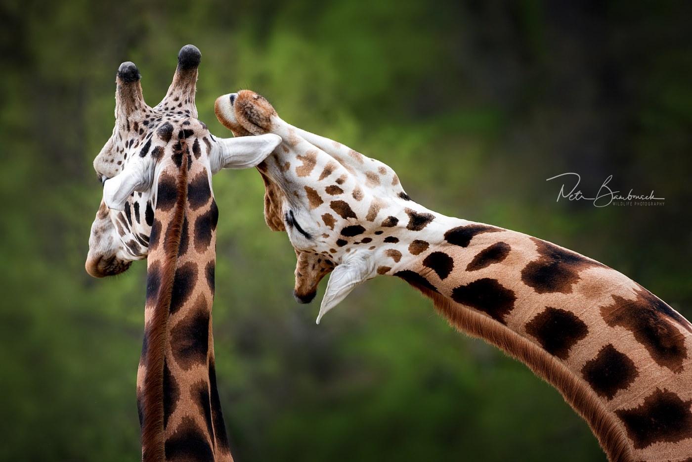 Žirafy v ZOO Zlín